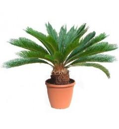 Цикас палма