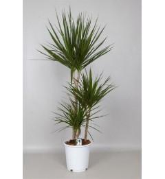 Драцена палма