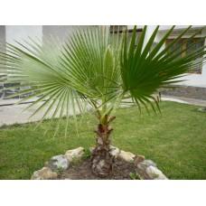 Вашингтон палма